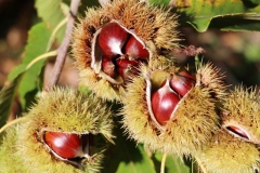 'Chestnuts' byTony Pernet