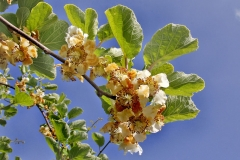 'Kiwi Fruit Flower' by Peter Crook
