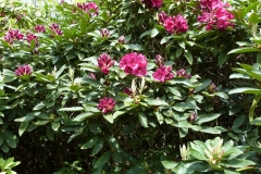 'Rhododendron 1' by Millicent Lake