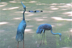 'Blue Herons' by Jonathan Grant