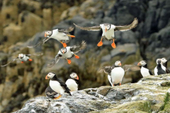 'Puffins Flying in' by Julia Forsyth