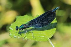 'Species Odonata' by Paul Smith