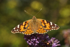 'September Butterfly' by Peter Shelley