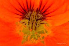 'Nasturtium Flower' by Robert Edmondson
