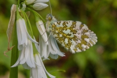 'Orange tip Butterfly' by Peter Shelley