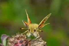 'Silver spotted Skipper' by Robert Edmondson