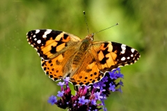 'Painted Lady on Verbena' by Angela Rixon