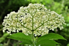 'Elderflower' by Robert Edmondson