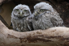 'Double owls' by Julia Forsyth