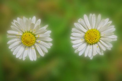 'Double Daisies' by Peter Shelley