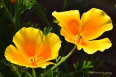 'Californian Poppies' by Robert Edmondson