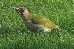 'Green Woodpecker' by Mike Thurner