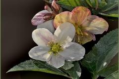 'Lenten Roses' by Angela Rixon