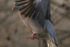 'Woodpigeon Landing' by Paul Smith