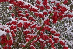 'Berries In Snow' by Peter Shelley