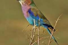 'Lilac-Breasted Roller' by Angela Rixon