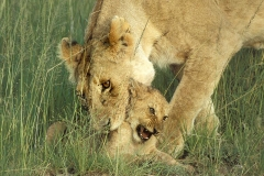 'Lioness And Cub' by Angela Rixon