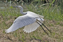 'Little Egret' by Mike Thurner