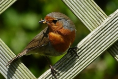 'Robin' by Polly Fernie