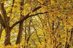 'By Golden Oaks' by Peter Shelley