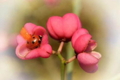 'Ladybird Resting in Spindle flower' by Robert Edmondson