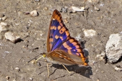 'Freyers Purple Emperor' by Mike Thurner