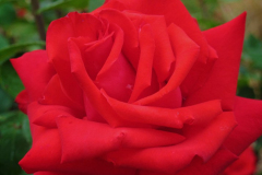 1_Wisley-Rose-by-Jonathan-Grant