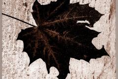 'Acer Leaf Silhouette' by Angela Rixon