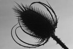 'Teasel' by Robert Edmondson