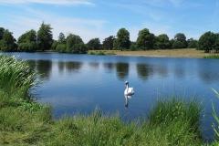'Swan On Lake' by Jonathan Grant