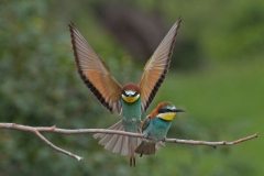 'Bee Eater Landing' by Mike Thurner