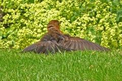'Blackbird Sunbathing' by Mike Thurner