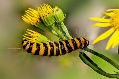 'Cinnabar Moth Caterpillar' by Angela Rixon