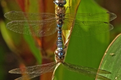 'Dragonflies Mating' by Mike Thurner