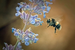 'Bumblebee With Catmint' by Angela Rixon