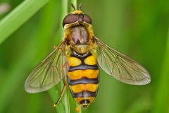 'Hoverfly' by Mike Thurner