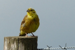 'Yellowhammer' by Camille Humphrey
