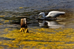 'Yellow Algae with Little Egret' by Peter Crook