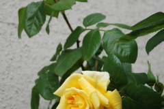 'Yellow Rose' by David Ager