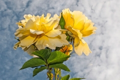 'Yellow Roses' by Angela Rixon