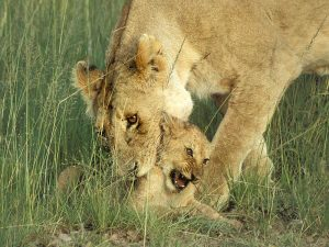 lioness picking up cub
