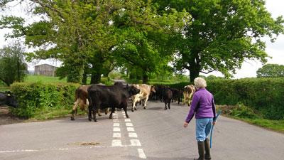 A rural traffic jam