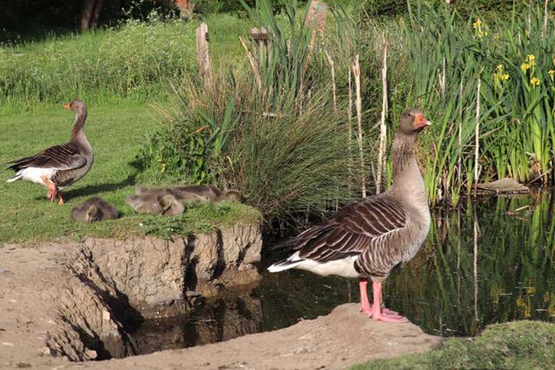 'Geese on Guard' by Tony Pernet