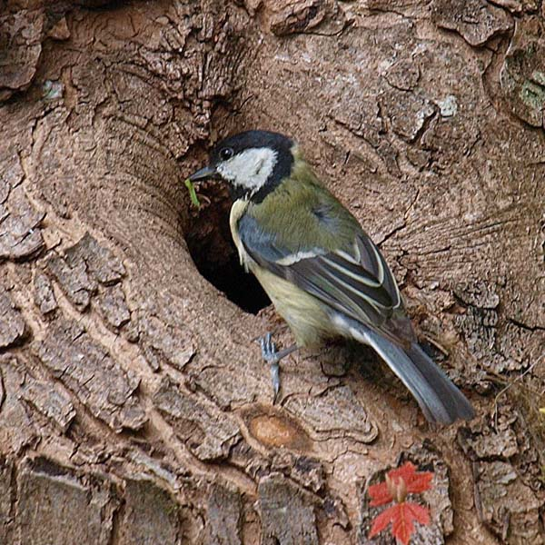 'Great Tit' by Peter Shelley