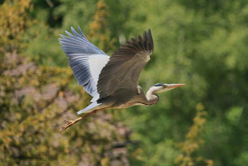 'Grey Heron. Departure' by Paul Smith