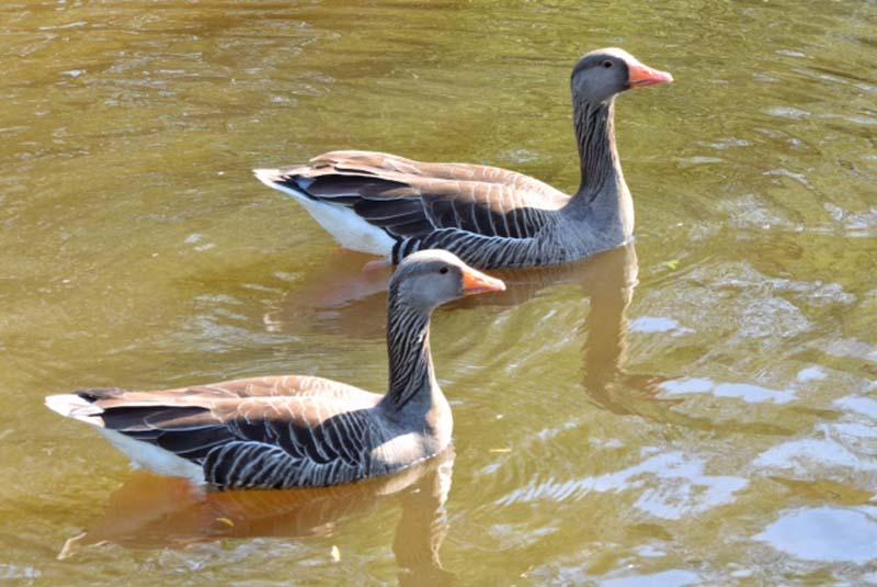 'Pair of Greylag Geese' by Robert Edmondson