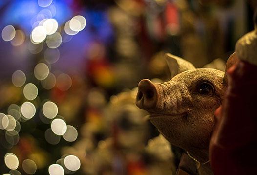 christmas-pig1