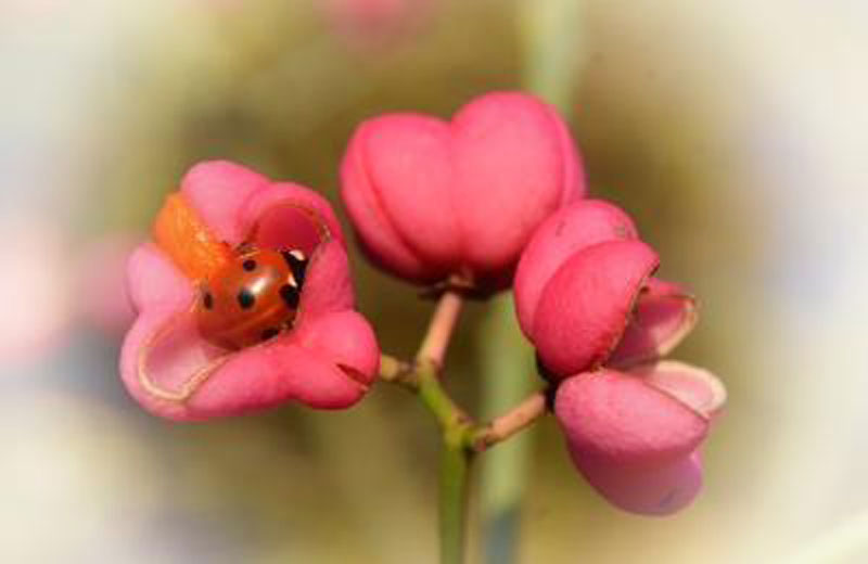 Ladybird Resting in Spindle flower (Robert Edmondson)
