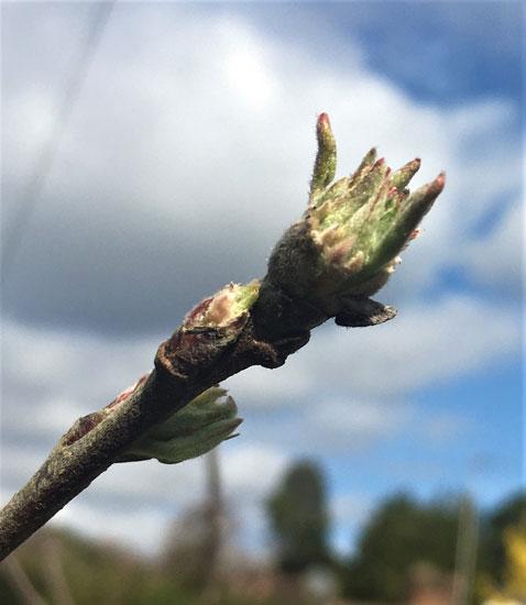 Apple Bud (Jonathan Grant)