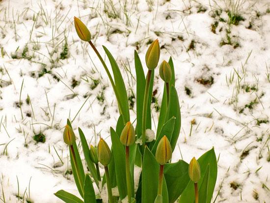Peter---3-Short-April-Snowshower